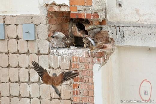 Elterntier bringt Futter, Turmfalken 2016