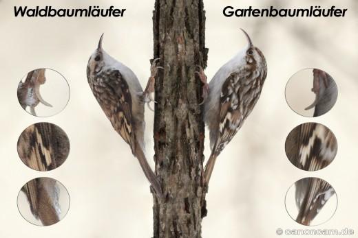 Unterscheidungsmerkmale von Wald- und Gartenbaumläufer