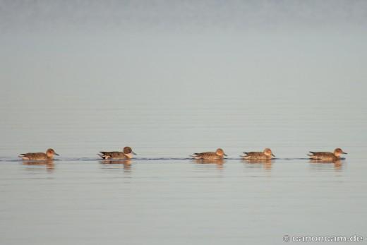 Spießenten-Trupp (Anas acuta) am Chiemsee