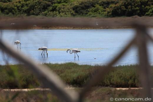 Flamingos - Blick auf den Stagno bei Su Pallosu
