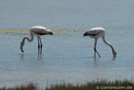 Zwei Flamingos beim Plankton-Suchen