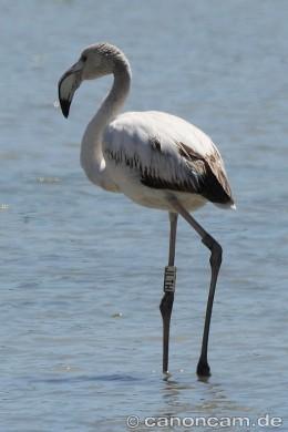 JLTH - ein französischer Jung-Flamingo auf Sardinien