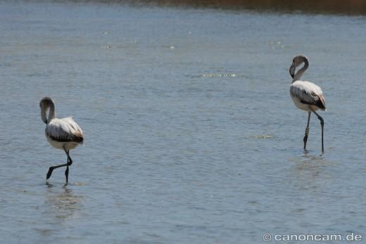 Zwei Flamingos im Stagno - hier wussten wir noch nichts von der Beringung
