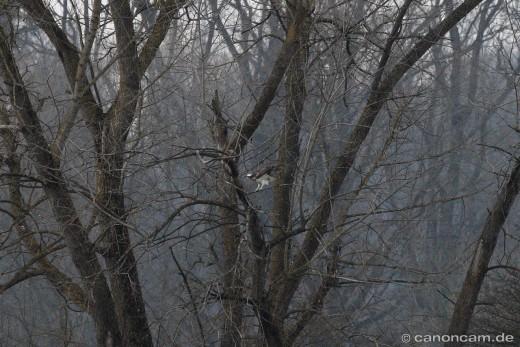Fischadler lässt sich in Baum nieder