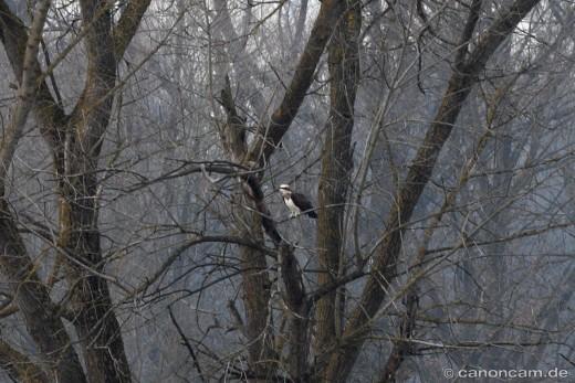 Fischadler sitzt in Baum