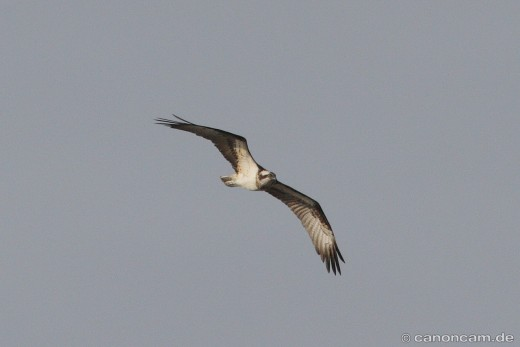 Fischadler im Flug, schön zu sehen die Augenmaske
