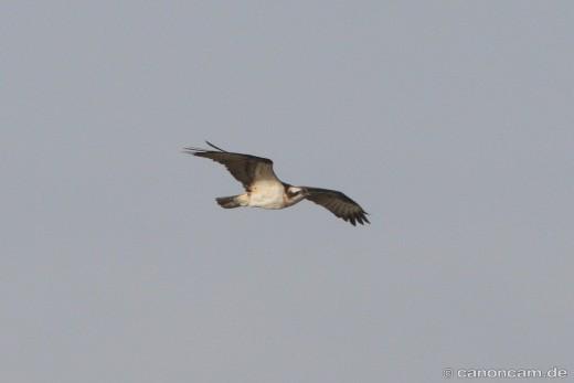 Fischadler im Vorbeiflug