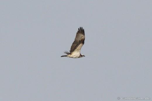 Fischadler im Flug, schön zu sehen der Schnabel