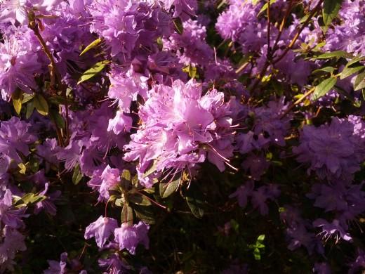 Blühender Rhododendron...