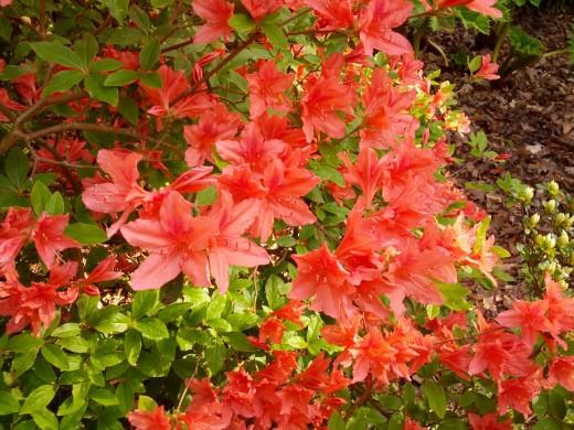 Noch ein blühender Rhododendron