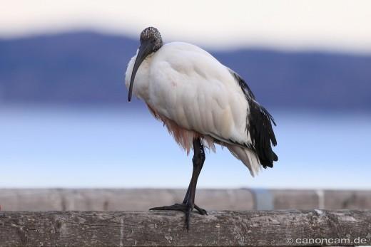 Ibo - der Heilige Ibis vom Ammersee
