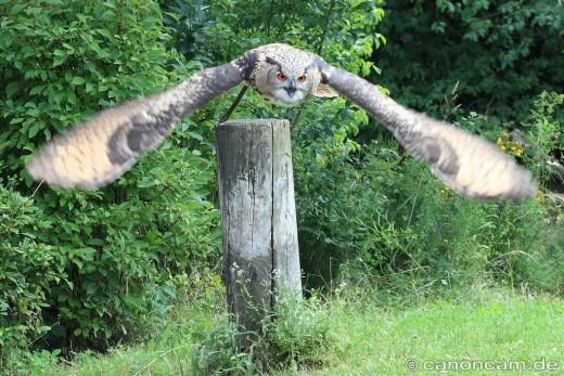 Fliegende Uhu-Dame - Greifvogelschau im Tierpark Hellabrunn - BirdMunich 2012