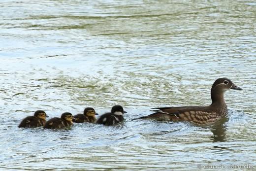 Mandarinenten-Mutter mit vier Jungen