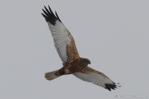 Rohrweihe, die Flügelspannweite beträgt bis zu 130 cm, bei Furth, Landkreis Landshut