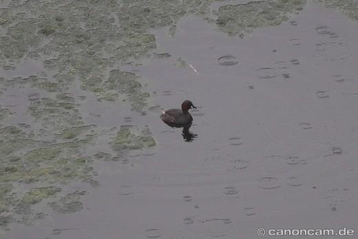 Rothalstaucher im Ismaninger Teichgebiet