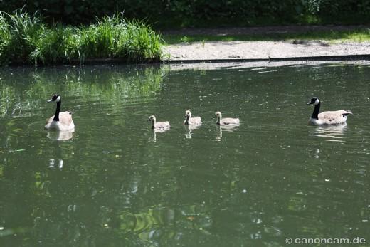 Familien-Schutz, Elternvögel und drei Gössel, 2014