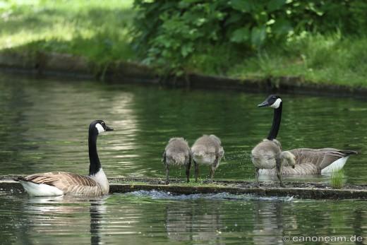 Kanadans-Familie im Nymphenburger Schlosspark, 2014Kanadagan