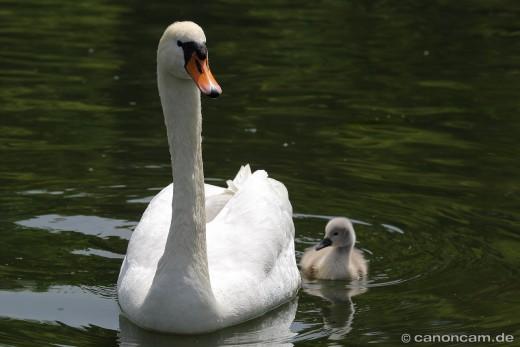 Stolzer Mutter-Schwan im Nymphenburger Schloßpark