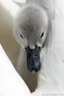 Kuschel-Versteck im Gefieder der Mutter