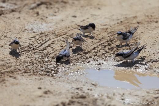 Mehlschwalben sind Koloniebrüter