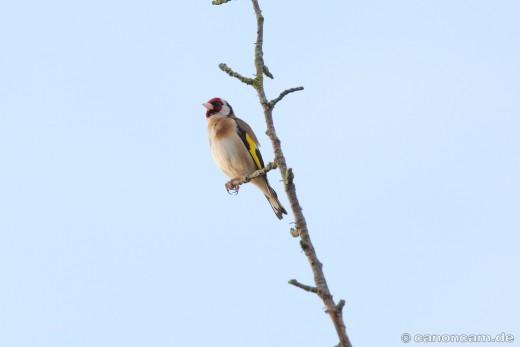 Stieglitz - Diestelfink - auf Warte