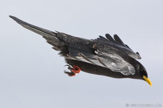 Alpendohle, Pyrrhocorax graculus, im Sturzflug