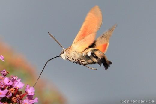 Taubenschwänzchen saugt Nektar aus Sommerflieder-Blüte
