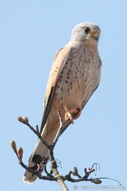 Turmfalke (Falco tinnunculus) am Mittleren Ring