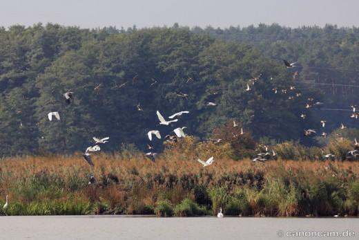 Aufgeschreckte Vögel - ca. 350 Meter entfernt - Mohrhof Weihergebiet