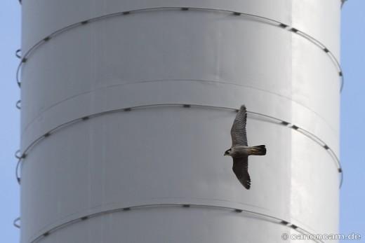 Wanderfalke umfliegt den Heizkraft-Turm, 2014