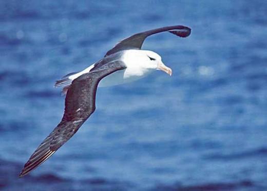 Schwarzbrauenalbatros im Flug (Thalassarche melanophris) - Urheber: Uwe Kils - Creative Commons-Lizenz