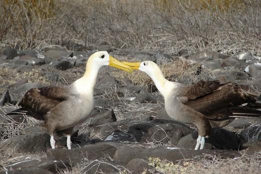Galapagosalbatrosse (Phoebastria irrorata) - Urheber: Barfbagger - Creative Commons-Lizenz