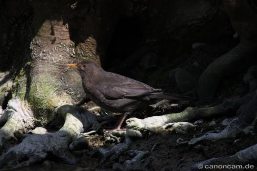 Amsel (Turdus merula) - Schwarzdrossel