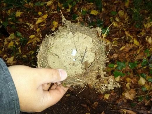 Ein geplündertes Singdrossel-Nest mit Resten der hellblauen Eierschalen - beeindruckend: innen richtig glatt verputzt