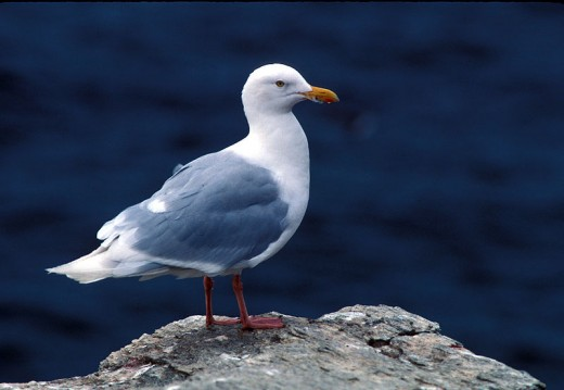 Adulte Eismöwe (Larus hyperboreus) im Prachtkleid By Sowls, Art (U.S. Fish and Wildlife Service) [Public domain], via Wikimedia Commons