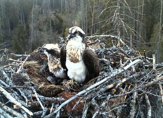 Fischadler-Webcam 2014