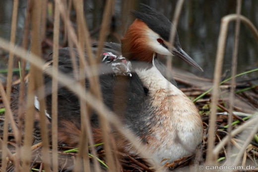 Zwei kleine Haubentaucher-Küken im Rückengefieder eines Elternvogels