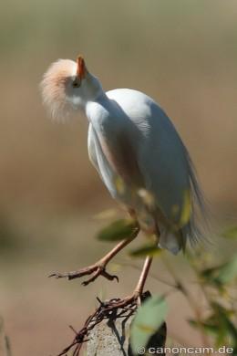 Kuhreiher (Bubulcus ibis) turnt herum