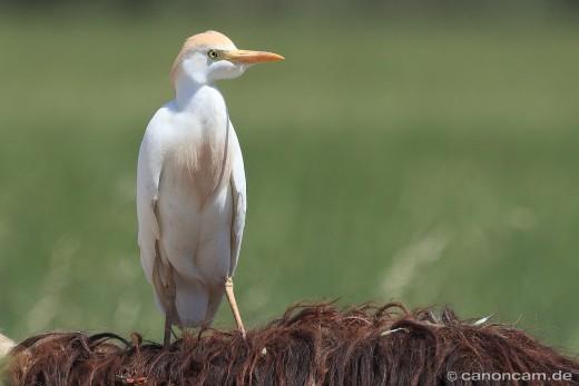 Kuhreiher (Bubulcus ibis) reitet auf Schaf