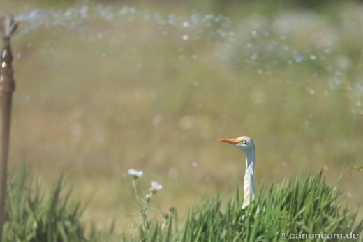 Kuhreiher (Bubulcus ibis) auf Weide - unter Sprenkler-Dusche