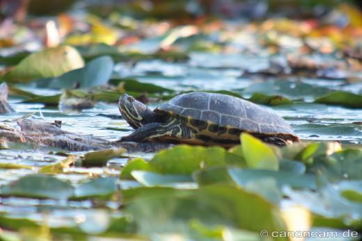 Gelbbauch-Schmuckschildkröte (Trachemys scripta scripta)