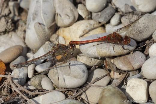 Libellen am Altwasser Schnödhof