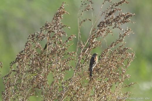 Bergfink oder Nordfink (Fringilla montifringilla) an den Klärteichen in Mittelstetten