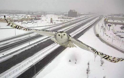 Schnee-Eule an kanadischer Autobahn (c) Verkehrsministerium Quebec
