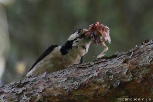 Buntspecht als Nesträuber - mit Jungvogel als Nahrung