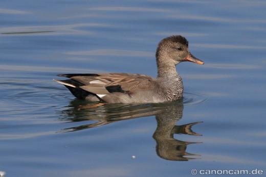 Beispiel Schwimmente - Schnatterente - Schwanzfedern über dem Wasser