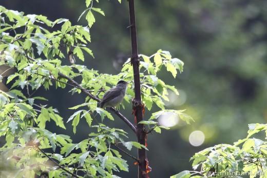 Singende Mönchsgrasmücke (Sylvia atricapilla)