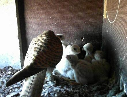 Bild der Turmfalken-Webcam in München - bei der Fütterung der Jungen