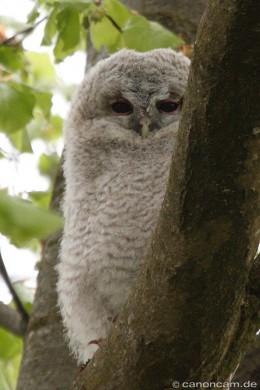 Kleiner Waldkauz-Ästling im Nordteil des Englischen Gartens