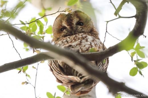 Was sie sich wohl denkt? Waldkauz-Altvogel